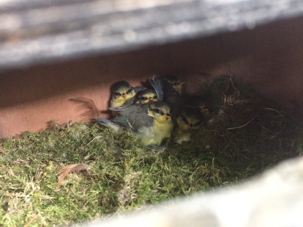 Blue Tits nesting in the post box
